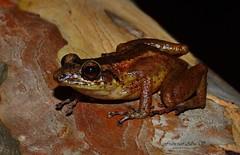 Rana martillo de Bahoruco (Eleutherodactylus armstrongi) Baoruco Hammer Frog (Francisco Alba Suriel) Tags: rana martillo de bahoruco eleutherodactylus armstrongi baoruco hammer frog