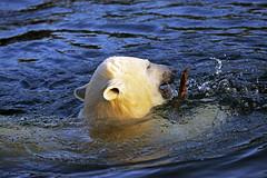 Eisbär (Michael Döring - thx for 20.000.000 views) Tags: gelsenkirchen bismarck zoomerlebniswelt zoo eisbär nanook afs70200mm28g d800 michaeldöring
