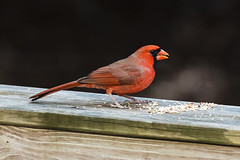 Cardinal (Miracle Man) Tags: nikond750 fauna bird cardinal nature northcarolina avian