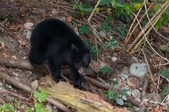 Bear Cub (fascinationwildlife) Tags: animal mammal wild wildlife nature natur bear black schwarzbär bär predator log forest kanada canada british columbia bc cub fall autumn young river creek