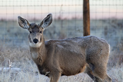 119 : 109 ungulates (Karen Juliano) Tags: ungulate deer mule colorado winter morning sunrise frost fence wildlife prairie rockymountainarsenal