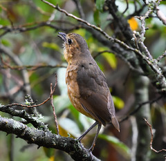 The Tawny Antpitta (Grallaria quitensis) Singing (mharoldsewell) Tags: 100400mm 2018 d7200 ecuador nikon sigma bird birds mharoldsewell mikesewell photos