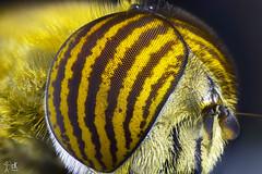 Mosca tigre 5X Flickr (christian_kollinger) Tags: mosca fly tigre tiger wings alas pelos hair yellow amarillo macro 5aumentos nikon nikond750 microscopio macrofotografía