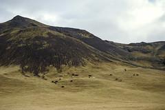 horses (lawatt) Tags: horses pasture landscape mountain iceland sonya7 leica 50mm summicronr