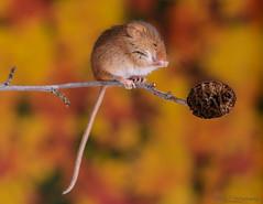 Harvest mice 17 12.01.19 (Lee Myers - aka mido2k2) Tags: green harvest mice mouse mammal small native wildlife uk countryside nature natural studio light portrait setup nikon d7100 flash strobe sigma macro 105mm cute smile happy fluffy rodent