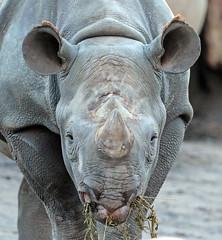 black rhino Blijdorp 094A1243 (j.a.kok) Tags: animal blijdorp mammal dier neushoorn rhino rhinoceros blackrhinoceros blackrhino zwarteneushoorn puntlipneushoorn mara