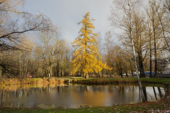 First snow. Larch on the lake. (fedoseenko) Tags: санктпетербург россия красота colour природа beauty blissful loveliness beautiful saintpetersburg sunny art shine dazzling light russia day park peace blue white голубой небо лазурный color sky pretty sun пейзаж landscape clouds view heaven mood serene golden gold colours picture road tree grass nature alley trees walkway field outdoors old d800 wood holy path winter snow water reflection cloud sanctuary lake feodorovsky осень autumn 24120mmf3556d