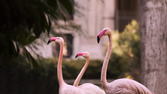 Invernizzi Villa - Flamingos (dl07portfolio) Tags: invernizzi flamingo flamingos milan bird birds animal fauna nature italy animals