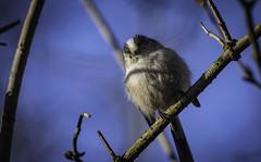 Long-tailed tit (vickyouten) Tags: longtailedtit nature wildlife britishwildlife wildlifephotography nikon nikond7200 nikonphotography sigma150600mm sigma penningtonflash leigh uk vickyouten