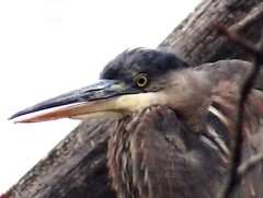 Afternoon visitor (EcoSnake) Tags: greatblueheron ardeaherodias wildlife january winter idahofishandgame naturecenter
