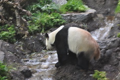 20190101-DSC_3745 (Beothuk) Tags: calgary zoo new years day 2019 giant panda indoor