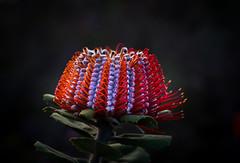 Scarlet banksia- Banksia coccinea (loveexploring) Tags: australia scarletbanksia banksiacoccinea flower red wildflower western stirlingrange banksia proteaceae