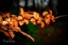 Im dunklen Wald (r.wacknitz) Tags: wald forrest rain dark harz december leaves colours nikond7200 nikkor luminar18
