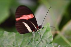 Butterfly (Bri_J) Tags: butterflyhouse greenhouse copenhagenbotanicalgarden botaniskhave universityofcopenhagen copenhagen denmark københavn danmark butterfly