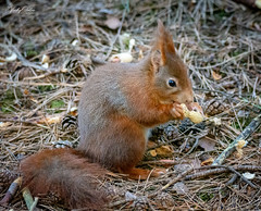 Red squirrel eating. (vickyouten) Tags: redsquirrel squirrel squirreleating wildlife britishwildlife wildlifephotography nature naturelovers nikon nikond7200 nikonphotography sigma sigma150600mm formbybeach liverpool formby vickyouten