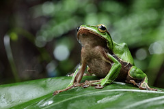 2J4A8083 (ajstone2548) Tags: 12月 樹蛙科 兩棲類 翡翠樹蛙