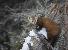American Marten (Nick Scobel) Tags: pine marten martes americana mustelid weasel mustalidae cute furry arboreal tree predator sax zim saxzim bog boreal forest spruce minnesota