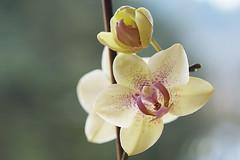 Die Nächste ist im Werden - The Next is coming (heinrich.hehl) Tags: natur flora blume blüten orchidee makro macro orchid blossoms flower nature