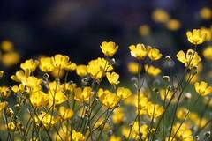 Ranunculaceae / キンポウゲ     Angénieux 100mm F 3.5  ? (情事針寸II) Tags: クローズアップ 自然 花 キンポウゲ oldlens closeup bokeh nature fleur flower buttercups angénieux100mmf35?