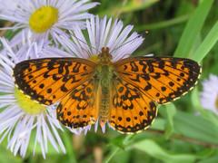 Boloria selene sabulocollis (tigerbeatlefreak) Tags: boloria selene sabulocollis insect butterfly lepidoptera nymphalidae south dakota