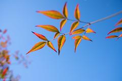 葉 (fumi*23) Tags: ilce7rm3 sony plant leaf nikon nikkor ainikkor28mmf28s 28mm a7r3 sky 南天 葉 植物 ニコン ニッコール ソニー