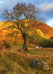 The Frandy Tree, Glen Devon (MilesGrayPhotography (AnimalsBeforeHumans)) Tags: 2470 fe2470mmf4zaoss sonyfe2470f4zaoss a7rii sonya7rii glendevon frandy frandytree britain europe fe dollar clackmannanshire farm golden iconic ilce7rm2 sonyilce7rm2 landscape landscapephotography nd outdoors photography photo portrait rocks scotland scenic sunlight sunshine sony sonyflickraward scottish scottishlandscapephotography town tree lonetree uk unitedkingdom village valley winter zeiss