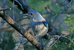 Woodhouse's Scrub Jay (1krispy1) Tags: corvids scrubjays jays woodhousesscrubjay texasbirds