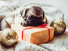 Cute, sweet puppy, sleeping on a blanket (GraficaMuitoMaisBarata.com.br) Tags: pug dog puppy animal pet cute care vet doctor thanksgiving christmas newyear decorations balls gift medicine clinic love canine purebred mammal breed muzzle funny domestic birthday white small adorable ribbon red pup background veterinarian card valentine whelp paw little young vintage sleeping lying friend mutt closeup one beige wrinkles plaid