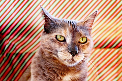 """Meowy Catmas Eve from Broadcast! (kirstiecat) Tags: cat feline meow catmas christmas holiday merrychristmas meowycatmas furry chat gato gata chatte katze diagonals colour color """"happy holidays"""" canon happyholidays dilutetort tortiecat tortie kitty"""