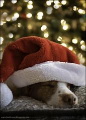 12-12 Eva: too much Christmas (Dave (www.thePhotonWhisperer.com)) Tags: 12monthsfordogs 12monthsforeva dog brittanyspaniel brittany christmas santahat lights bokeh