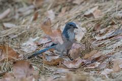 California Scrub-Jay (Aphelocoma californica) (byjcb) Tags: jays birds