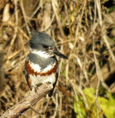 Belted Kingfisher (Gary Helm) Tags: beltedkingfisher female bird birds fly flight feathers perched ghelm4747 garyhelm image photograph canon powershot camera sx60hs dinnerislandranchwildlifemanagementarea florida hendrycounty outside outdoor wildlife nature water tree floridawildlife