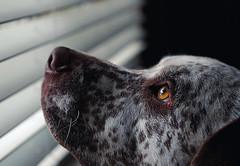 Sheppard (AngeloDefensor) Tags: dog pitbull pet domestic animal animals cute friend