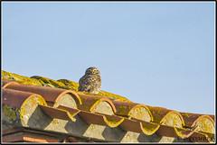 _DSC0024_Chevêche d'Athéna (patounet53) Tags: athenenoctua chevêchedathéna littleowl strigidés strigiformes bird oiseau rès très