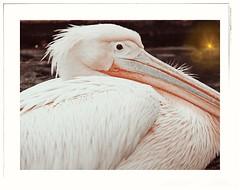 Wilhelma STUTTGART Germany (eagle1effi) Tags: wilhelma stuttgart germany pelikan pelicano sx60 toolwiz