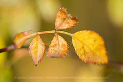 Full autumn tones (ILO DESIGNS) Tags: 150mm color d3300 hojas madrid naturaleza noviembre otoño rosacanina rosalsilvestre dogrose nature naturallight spain sigma15028 sunlight forest macro macrofotografía leaves leaf autumn fall yellow colorful europe closeup