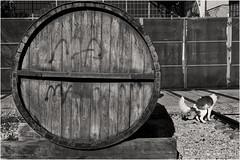 Madrid. 2019. (ithyrsus) Tags: nikon nikond5200 d5200 affinityphoto bw blackwhite bnw blancoynegro blackandwhite biancoenero schwarzweis monochrome monocromático sigma sigma1750f28 dog perro chien cane cão barril cask barrica madrid spagna spain spanien españa espanha espagne europa europe eu ue