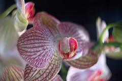 蘭 / Orchid      Kodak Anastigmat  f : 1.9   25 mm (情事針寸II) Tags: macrodreams マクロ撮影 自然 花 蘭 cmountlens bokeh macro nature fleur flower orchid kodakanastigmatf1925mm