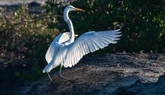 Sunlit Landing, Great Egret (Ardea alba), Haiti (MikeM_1201) Tags: greategret haiti d500 caracol mangrove trees landing wildlife nature wings