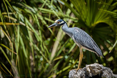 Fort De Soto Park Yellow-crowned Night Heron 05-07-2018 (Jerry's Wild Life) Tags: fortdesoto fortdesotopark ftdesoto heron nyctanassaviolacea pinellascountypark wadingbird wadingbirds ycnh yellowcrowned yellowcrownednight yellowcrownednightheron