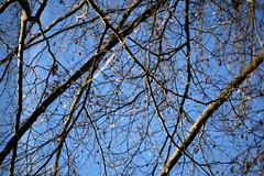 Bare Beeches (gripspix) Tags: 20190206 iscogöttingen stellagon 128100mm projectionlens projektionsobjektiv selfadapted selbstangepasst beech buche fagussilvatica twigs branches äste zweige bare nackt sky himmel blue blau