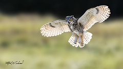 Great Horned Owl_T3W1851 (Alfred J. Lockwood Photography) Tags: alfredjlockwood nature bird greathornedowl flight crc canadianraptorconservancy canada backlight bokeh autumn morning field