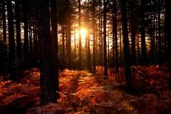Let's Get Lost (barbara_donders) Tags: natuur nature herfst fall autumn forest bos trees bomen sunset zonsondergang licht lichtinval light shining red rood ferns varens magisch magical beautiful mooi prachtig