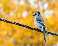 Bird on a Wire (Karen_Chappell) Tags: bird nature autumn fall orange bokeh jay bluejay blue nfld newfoundland garden canada atlanticcanada avalonpeninsula animal rain rainy raining weather stjohns