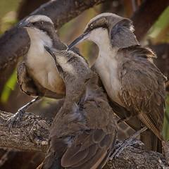 lagoon creek - grey-crowned babblers (Fat Burns ☮) Tags: greycrownedbabbler omatostomustemporalis babbler bird australianbird fauna australianfauna nature nikond500 nikon200500mmf56eedvr lagooncreek barcaldine queensland australia wildlife australianwildlife outdoors