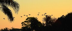 Canada Geese at Sunrise (Jim Mullhaupt) Tags: canadageese flock geese flight sunrise panorama sunup dawn sun morning sky clouds color red orange pink yellow blue tree palm silhouette weather tropical exotic wallpaper landscape bradenton florida manateecounty nikon coolpix p900 jimmullhaupt cloudsstormssunsetssunrises bird water pond lake swamp wildlife nature background outdoor photo flickr geographic picture pictures camera snapshot photography nikoncoolpixp900 nikonp900 coolpixp900