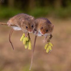 Eurasian harvest mice (Micromys minutus) (RichardxS) Tags: 2018 autumn eastanglia england eurasianharvestmouse harvestmice mminutus micromysminutus november suffolk uk unitedkingdom