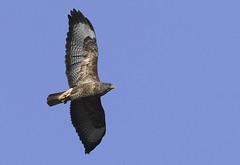Common Buzzard (Kentish Plumber) Tags: commonbuzzard raptor birdofprey flying feathers detailed nature wildlife uk quality image high photos buteobuteo