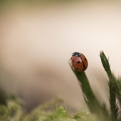 A vos marques ... (Titole) Tags: coccinelle ladybug ladybird squareformat nicolefaton titole
