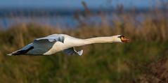 Oare flying Mute Swan